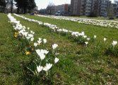 Tychy zakwitną, wiosenne dekorowanie ulic i parków