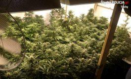 Tyscy policjanci zlikwidowali plantację marihuany