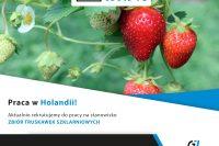 Praca w Holandii (Limburgia, Venlo) - Zbiór truskawek szklarniowych