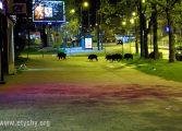 Dziki w centrum Tychów (2020.04.25) [galeria]
